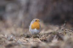 European Robin. In the garden Stock Images