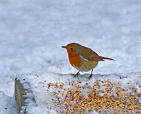 European Robin on ground feeder in snow Stock Image