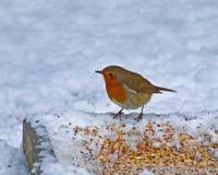 European Robin on ground feeder in snow Stock Image
