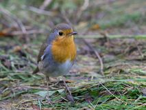 European Robin on the ground Stock Photos