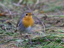 European Robin on the ground Stock Photos