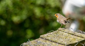European Robin guarding his territory. The European Robin surveying his territory and he`s not afraid to fight to defend it royalty free stock images