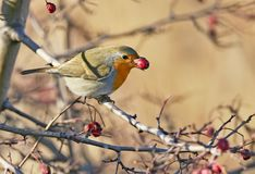 European robin with a hawthorn berries in its beak. Isolated on blurred background stock image