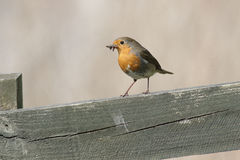 European Robin with insects. A European Robin perched on a fence with insects in its' bill Stock Photos