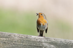 European Robin with insects. A European Robin perched on a fence with insects in its' bill Royalty Free Stock Photo