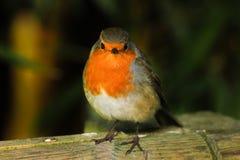 European Robin. Ireland