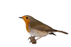 European Robin isolated royalty free stock image
