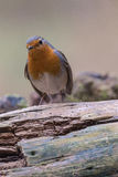 European robin Royalty Free Stock Photography