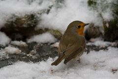 European robin in the snow. A european robin looking over its sholuder while standing in the snow. Also known as robin or robin redbreast. Erithacus rubecula royalty free stock image