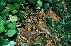 European robin at nest with chicks Stock Photo