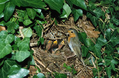 European robin at nest feeding chicks Royalty Free Stock Photography