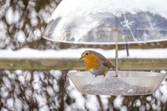 Free European Robin On A Birdfeeder In The Winter Royalty Free Stock Photos - 126031618