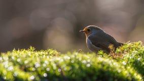 European robin. Overlooking the garden Stock Photography