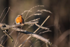 European Robin  perched on a branch Stock Photo