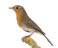 European Robin perched on a branch - Erithacus rubecula Royalty Free Stock Image