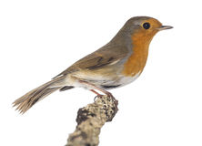 European Robin perched on a branch - Erithacus rubecula Royalty Free Stock Photos