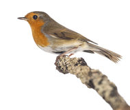 European Robin perched on a branch - Erithacus rubecula Stock Photo