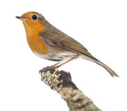 European Robin perched on a branch - Erithacus rubecula royalty free stock photography