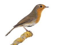 European Robin perched on a branch - Erithacus rubecula Stock Photography