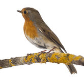 European Robin perched on a branch - Erithacus rubecula Stock Image