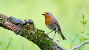 European Robin perched on a mossy trunk with clean green background royalty free stock image