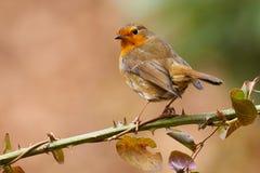 European robin Stock Photos
