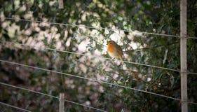 The European robin Royalty Free Stock Image