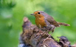European robin sits on a dry branch stock image