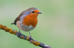 European robin perched on a lichen covered small perch royalty free stock image