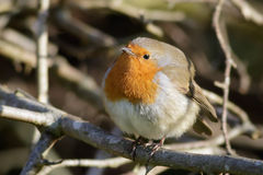European Robin puffed up Royalty Free Stock Images