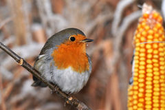 European robin redbreast Royalty Free Stock Photography
