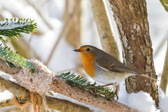 European robin redbreast bird perching near homemade bird feeder Stock Photos