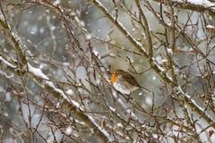 European robin redbreast bird sitting on tree branch all alone w Royalty Free Stock Photo