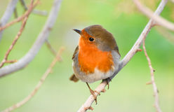European Robin, Redbreast on a branch. European Robin, Redbreast on a branch, closeup Royalty Free Stock Photos