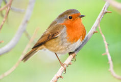 European Robin, Redbreast on a branch. Stock Images