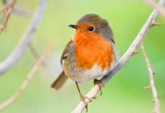 European Robin, Redbreast on a branch. Stock Image