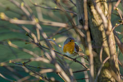 European Robin Redbreast - erithacus rubecula melophilus Royalty Free Stock Image