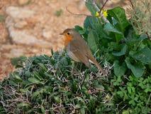 European Robin redbreast small bird with orange breast Stock Photo