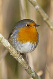 European Robin. Resting on a branch Stock Images