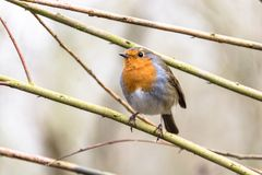 Robin bird at Nottingham, United Kingdom. The European robin, or robin redbreast, is a chat-thrush subfamily Saxicolinae that breeds throughout Europe, western Stock Images