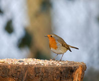 European Robin with seed Royalty Free Stock Image