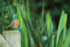 European robin Royalty Free Stock Photo