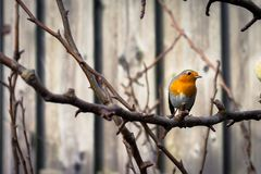 A robin redbreast Erithacus rubecula on a tree branch in the garden royalty free stock image