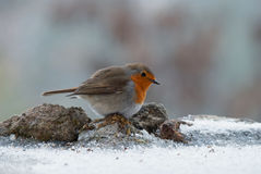 European Robin on snow Stock Photography