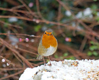 European Robin in snow Royalty Free Stock Photos