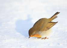 European Robin on Snow Royalty Free Stock Image