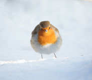 European Robin Snow Portrait Royalty Free Stock Image