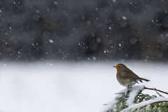European robin,  in a snowy landscape Royalty Free Stock Images