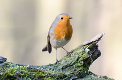 European robin. Spotted in the forest stock photo