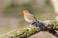 European robin. Spotted in the forest stock images